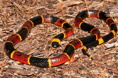 Eastern Coral Snake (Micrurus fulvius) royalty free stock photos