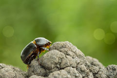 Eastern corn beetle crawling on a tree on a green background Royalty Free Stock Photos