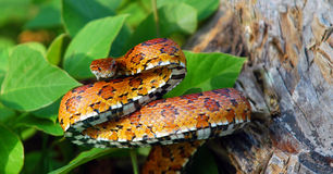 Eastern Corn Snake Royalty Free Stock Images