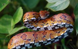 Eastern Corn Snake. Small eastern corn snake ready to strike to defend itself royalty free stock images