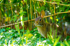 Eastern Cotton Tail Rabbit Stock Images