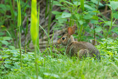Eastern Cotton Tail Rabbit Royalty Free Stock Image