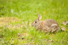 A Eastern Cotton Tail Rabbit eating grass Royalty Free Stock Photo