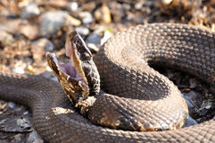 Eastern Cottonmouth Royalty Free Stock Photo