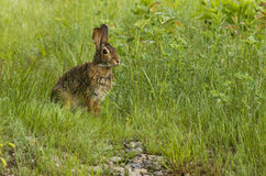 Eastern cottontail Royalty Free Stock Photography