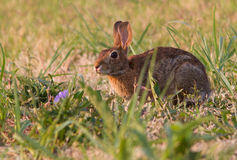 Eastern cottontail Royalty Free Stock Images