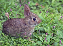 Eastern Cottontail Baby Rabbit Royalty Free Stock Photos