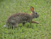 A Eastern Cottontail crosses a meadow guarded. On a summer afternoon royalty free stock photo