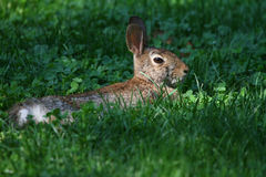 Eastern Cottontail Lying in Clover Patch in Sunbeam Stock Photos