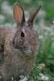 Eastern cottontail. In our yard stock photography