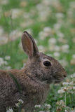 Eastern Cottontail 2 Stock Images