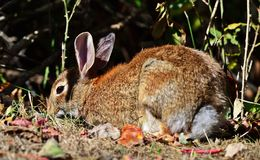 Eastern cottontail. Portrait of eastern cottontail, Sylvilagus floridanus stock photo