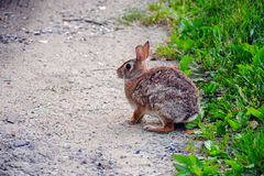 Eastern Cottontail Rabbit. (Sylvilagus floridanus) on a dirt path in New Jersey Stock Images
