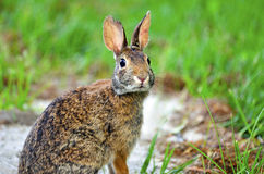 Eastern Cottontail Rabbit. (Sylvilagus floridanus) looking right at photographer Stock Photography