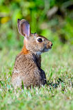 Eastern Cottontail Rabbit. (Sylvilagus floridanus) on a the grass Royalty Free Stock Photos