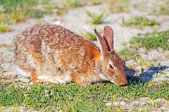 Eastern Cottontail Rabbit Stock Photos