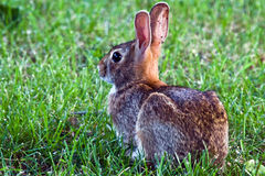 Eastern Cottontail Rabbit. Wild rabbit / bunny (Eastern Cottontail) sitting outdoors in the grass. Native to North America Royalty Free Stock Photo