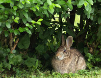 Eastern Cottontail Rabbit. An Eastern cottontail rabbit (Sylvilagus floridus) sitting under a privet hedge Royalty Free Stock Photo