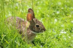 Eastern Cottontail rabbit. stock image