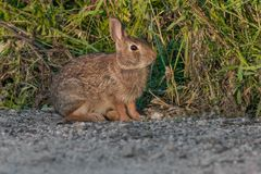 Eastern Cottontail Rabbit Stock Images