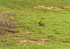Eastern Cottontail Rabbit In A Field. An Eastern Cottontail Rabbit (Sylvilagus floridanus) sitting idle in a field on Summer day in central South Carolina, USA Royalty Free Stock Images