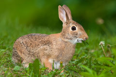 Eastern Cottontail Rabbit Stock Image