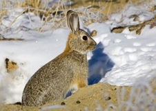 Eastern Cottontail Rabbit near snowy burrow Stock Photo