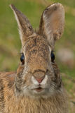 Eastern Cottontail Rabbit Stock Photo
