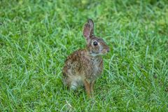 Eastern cottontail rabbit outdoors royalty free stock photography