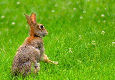 Eastern cottontail rabbit sitting up in clover Stock Photos