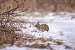 Eastern Cottontail rabbit in snow royalty free stock image