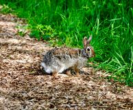 Eastern Cottontail Rabbit. This is a Spring picture of an Eastern Cottontail Rabbit on a path in the Montrose Point Bird Sanctuary on Lake Michigan located in royalty free stock image