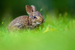 Eastern cottontail rabbit (Sylvilagus floridanus). In British Columbia, Canada stock photos