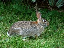 Eastern Cottontail Rabbit Sylvilagus floridanus. In a grass lawn in Illinois Royalty Free Stock Photo