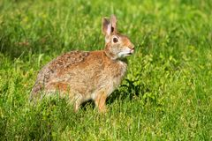 Eastern Cottontail Rabbit - Sylvilagus floridanus. Eastern Cottontail standing in the short grass. Rouge National Urban Park, Toronto, Ontario, Canada Stock Images