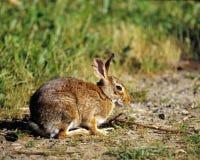 Eastern Cottontail Rabbit royalty free stock photos