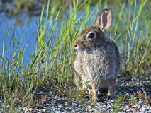 Eastern Cottontail Rabbit Stock Photography