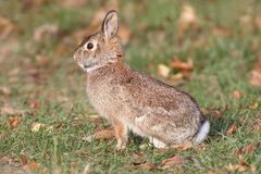 Eastern Cottontail Rabbit Sylvilagus floridanus. In a grassy field stock image
