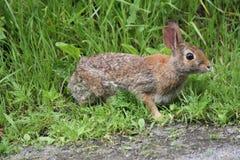Eastern Cottontail Rabbit Sylvilagus floridanus Stock Photo