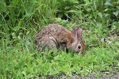 Eastern Cottontail Rabbit Sylvilagus floridanus Stock Photography