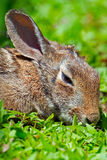 Eastern Cottontail Rabbit Royalty Free Stock Photo