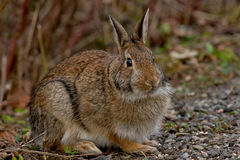 Eastern Cottontail Rabboit Stock Photo
