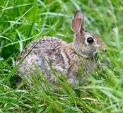 A Eastern Cottontail. This is a spring picture of a Eastern Cottontail scavenging for food in the Montrose Point Bird Sanctuary on Lake Michigan located in royalty free stock photography