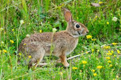 Eastern Cottontail Stock Image