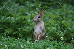 Free Eastern Cottontail Standing Up 2 - Sylvilagus Floridanus Stock Image - 94755211