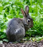 Eastern Cottontail. This is a Summer picture of a Eastern Cottontail at the Montrose Point Bird Sanctuary Meadow located in Chicago, Illinois in Cook County stock photos