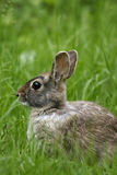 The Eastern Cottontail (Sylvilagus floridanus). Eastern Cottontail in the grass Stock Photography