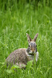 The Eastern Cottontail (Sylvilagus floridanus). Eastern Cottontail in the grass Stock Photo