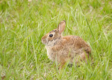 Eastern cottontail - Sylvilagus floridanus Royalty Free Stock Images