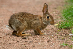 Eastern Cottontail Rabbit - Sylvilagus floridanus royalty free stock photos